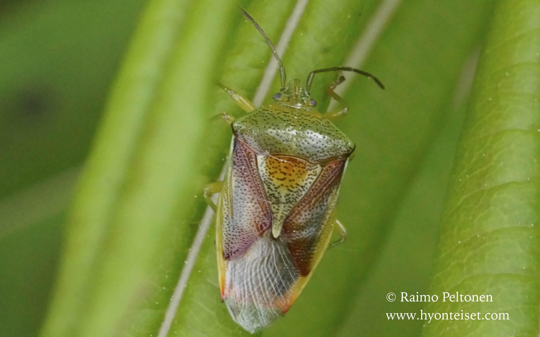 Elastomostethus interstinctus-tuomilude