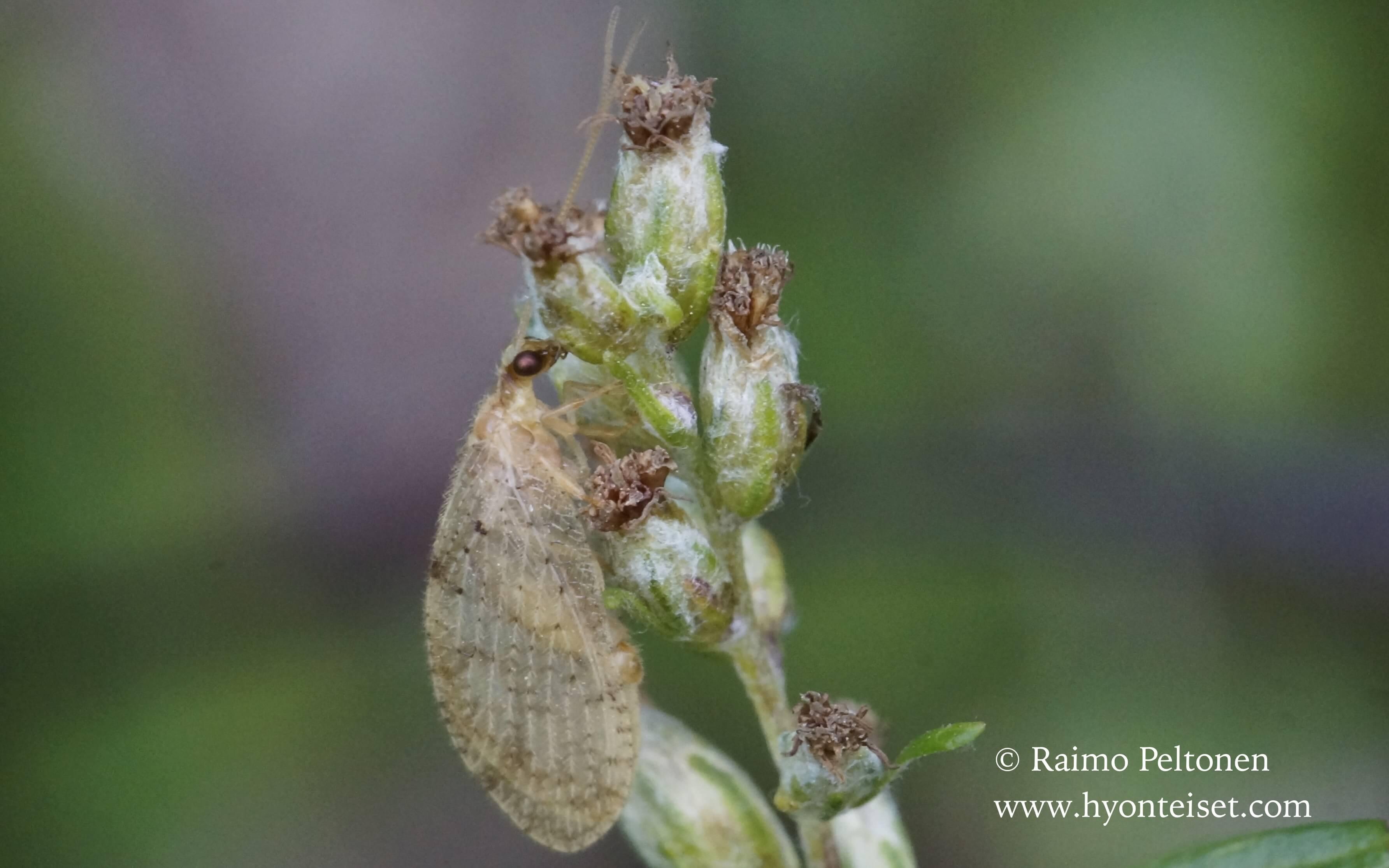 Hemerobius humulinus-häivekirvakorento