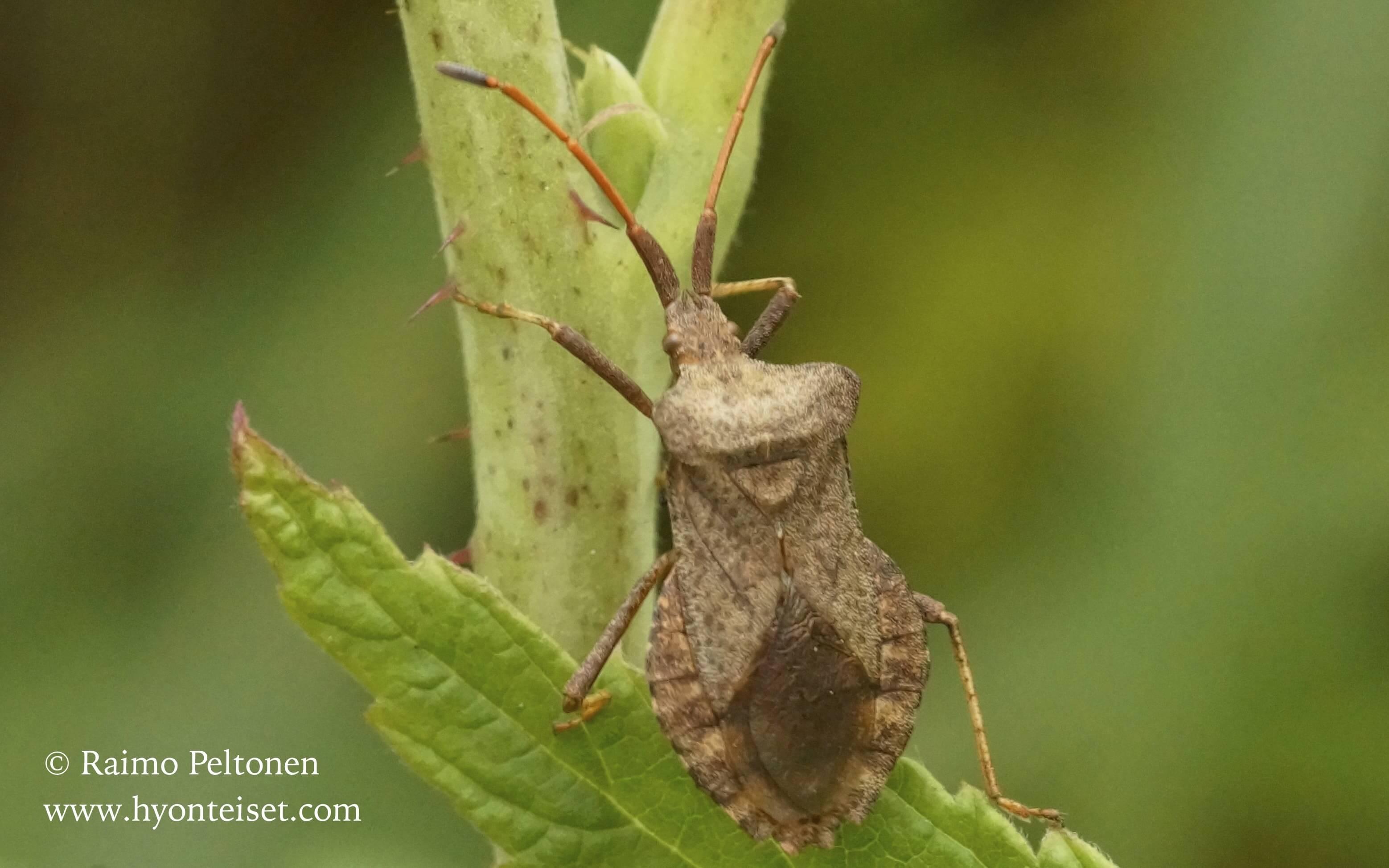 Coreus marginatus-pallelude