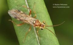 Tenthredopsis nassata 1