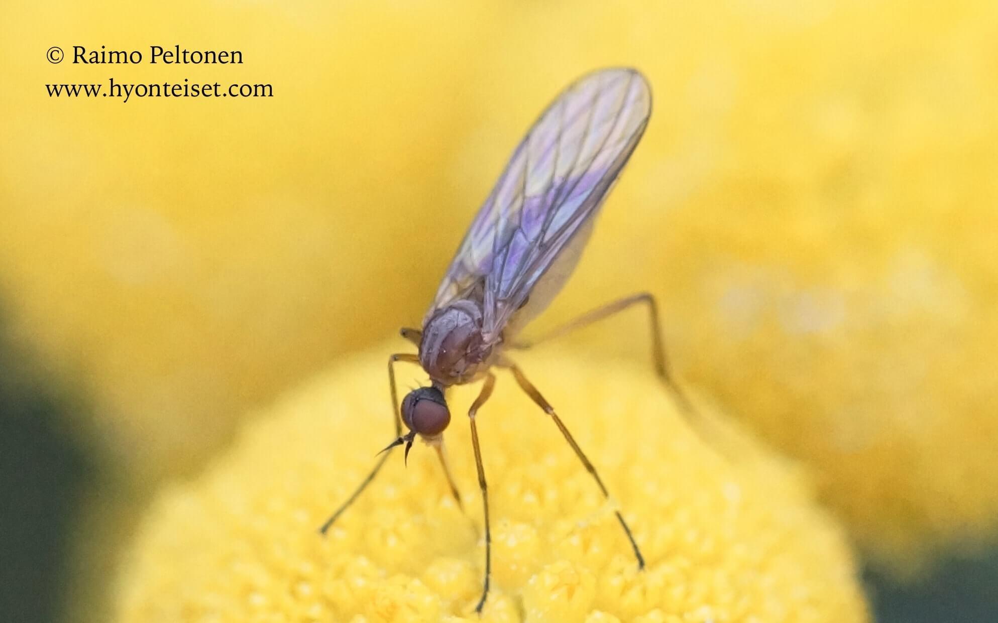 Rhampomyia sg. Holoclera (det. Paul Beuk)