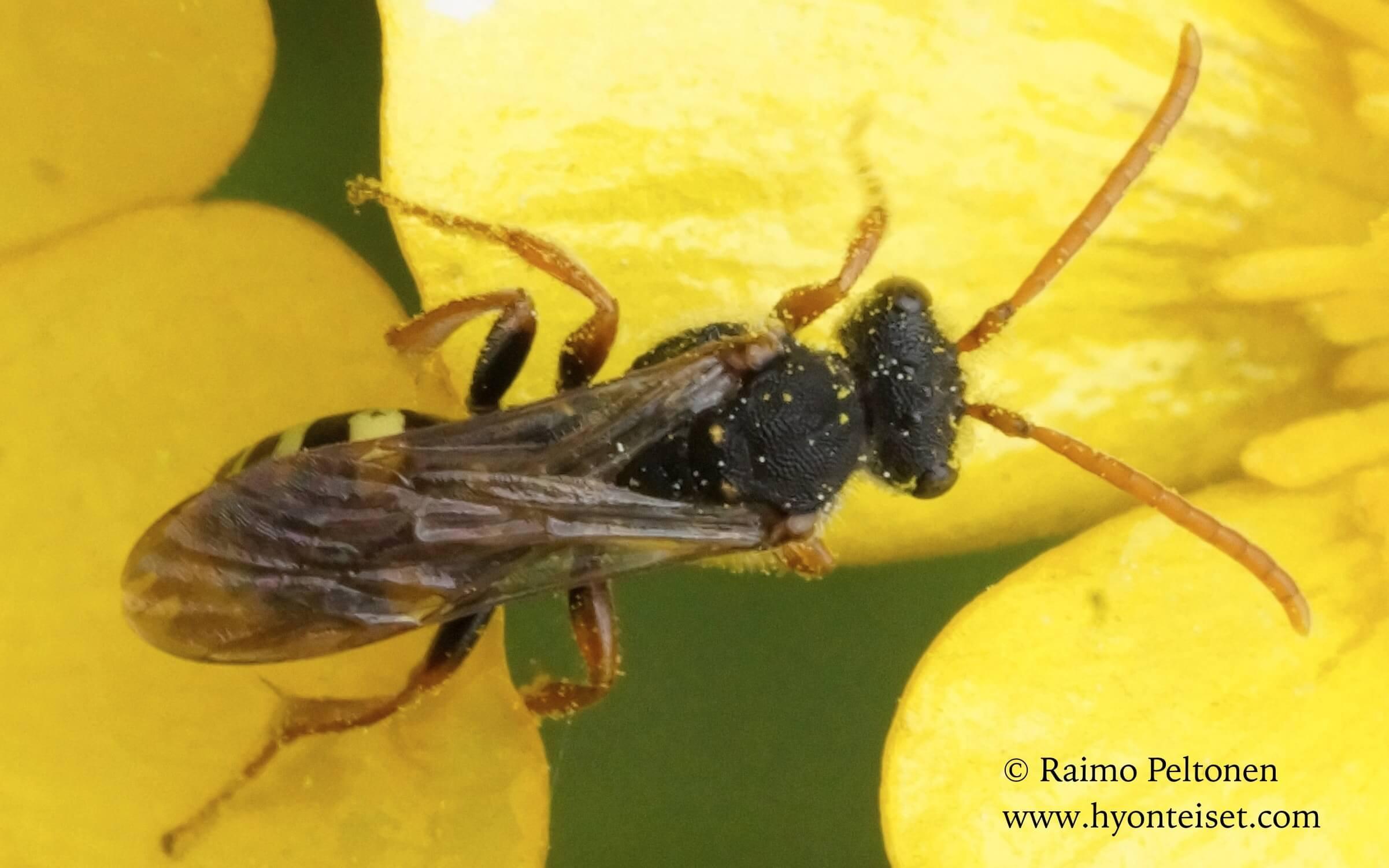 Nomada marshmella-vaahterakiertomehiläinen  (det. Juho Paukkunen)