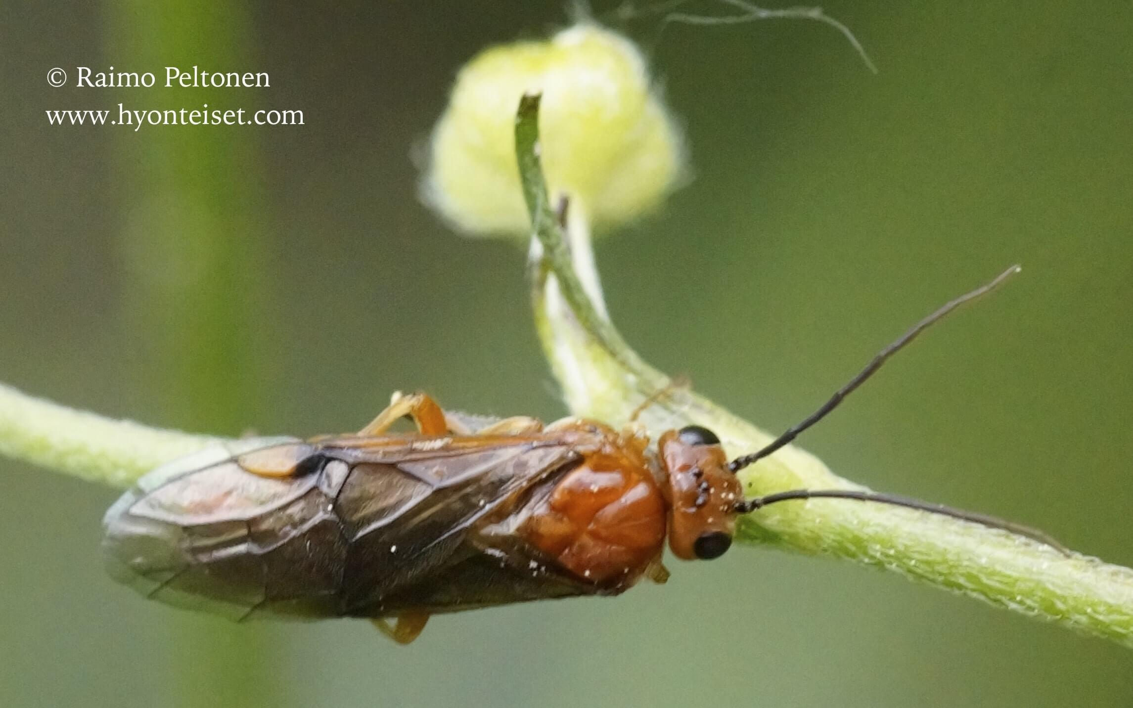 Hemichroa crocea (det. Veli Vikberg)