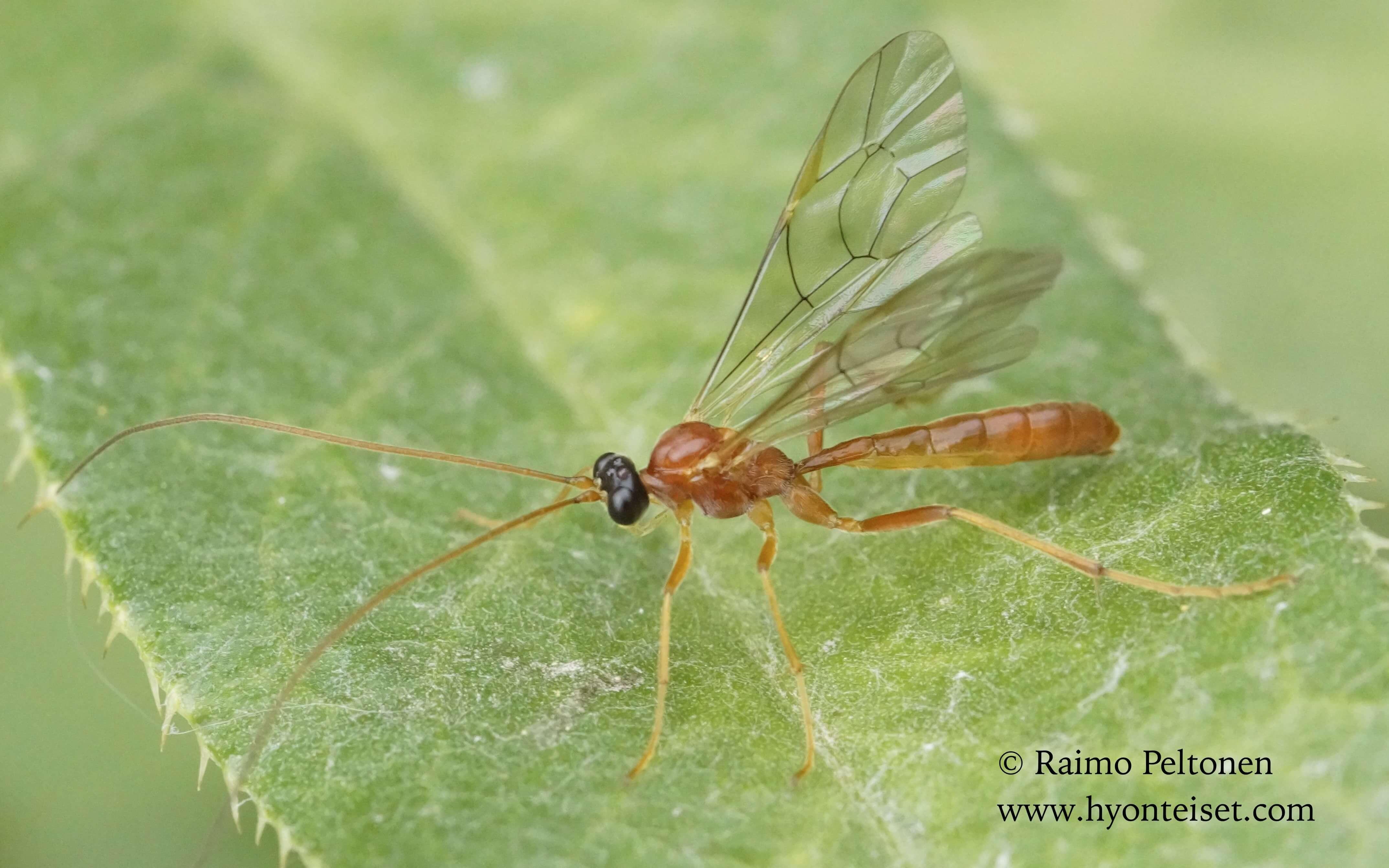 Tryphoninae, cf. Netellia sp. (det. Camille Thirion)