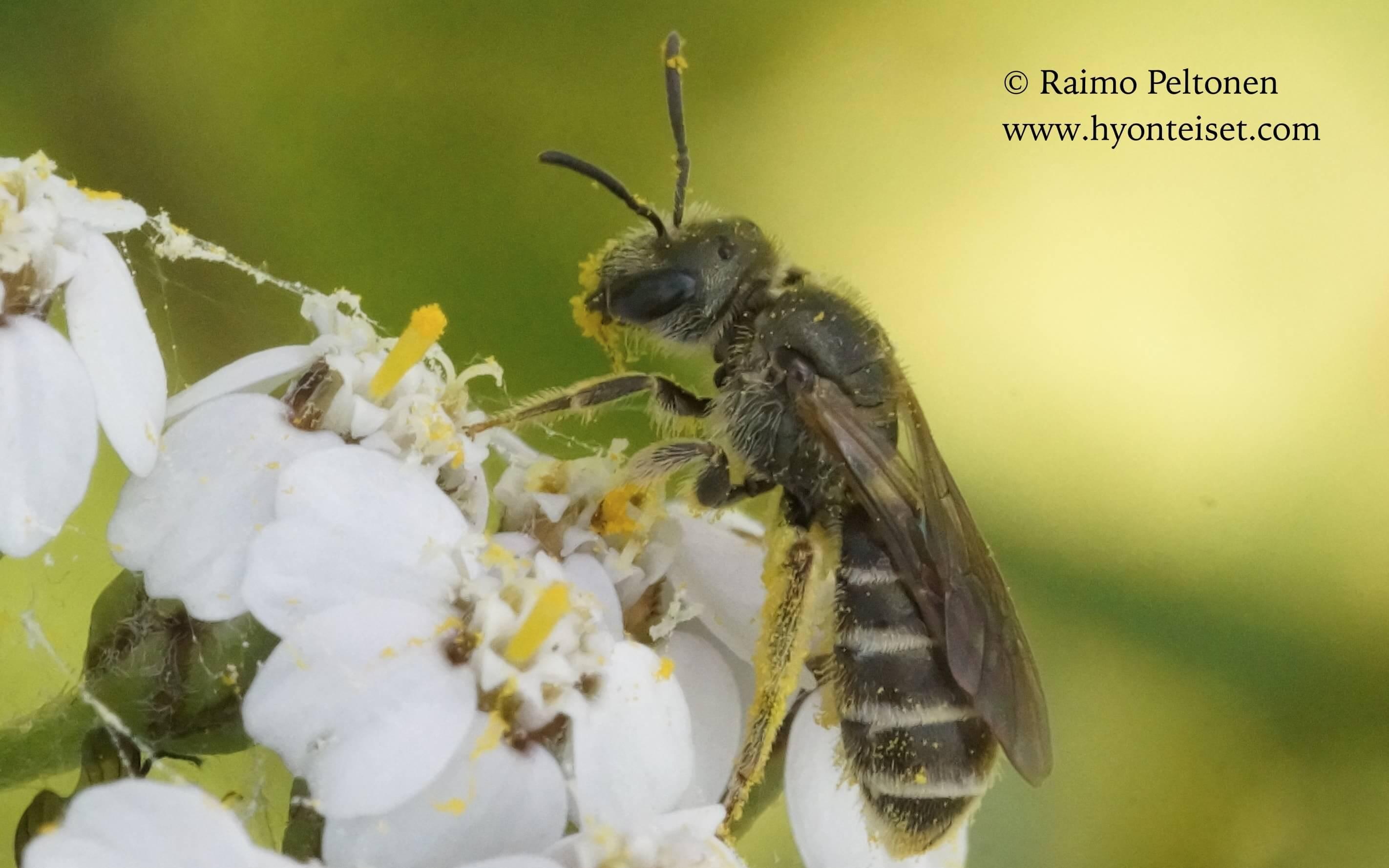 Halictus tumulorum-tarhavakomehiläinen (det. Juho Paukkunen)