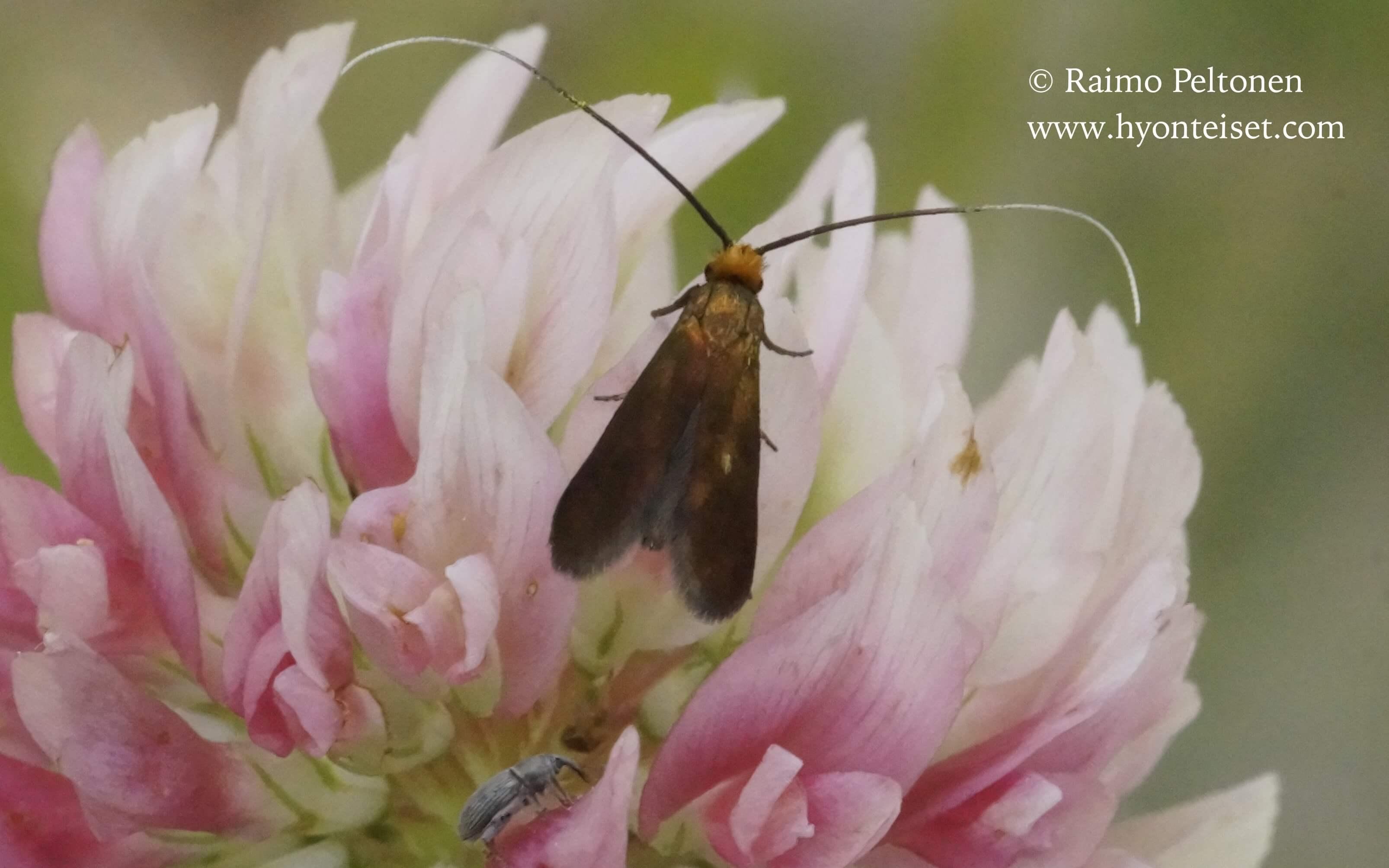 Cuchas rufimitrella-litukkasurviaiskoi (det. Jouni Pyyhtiä)