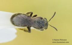 Lasioglossum leucopus 1