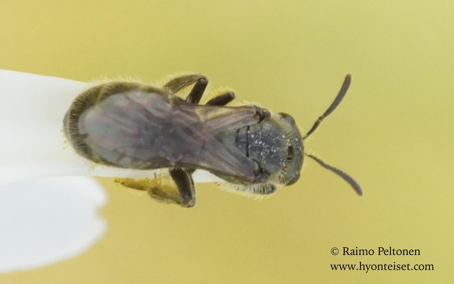 Lasiglossum leucopus-hietavihermehiläinen (det. Juho Paukkunen)