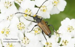 Anoplodera maculicornis