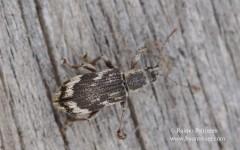 Polydrusus undatus 1