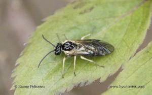Rhadinoceraea sibiricola 1