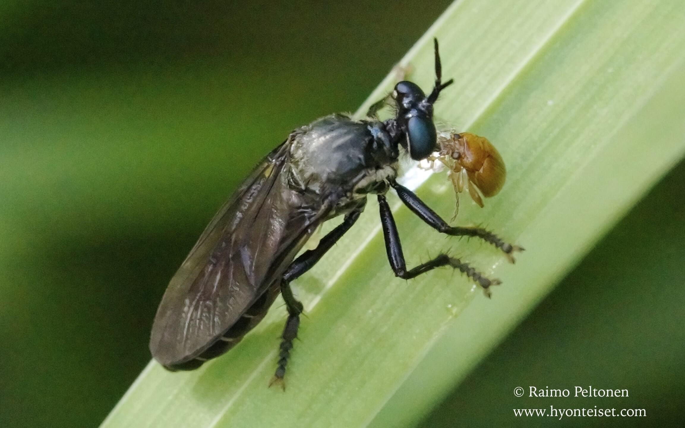 Dioctria atricapillus(det. Kai Winqvist)