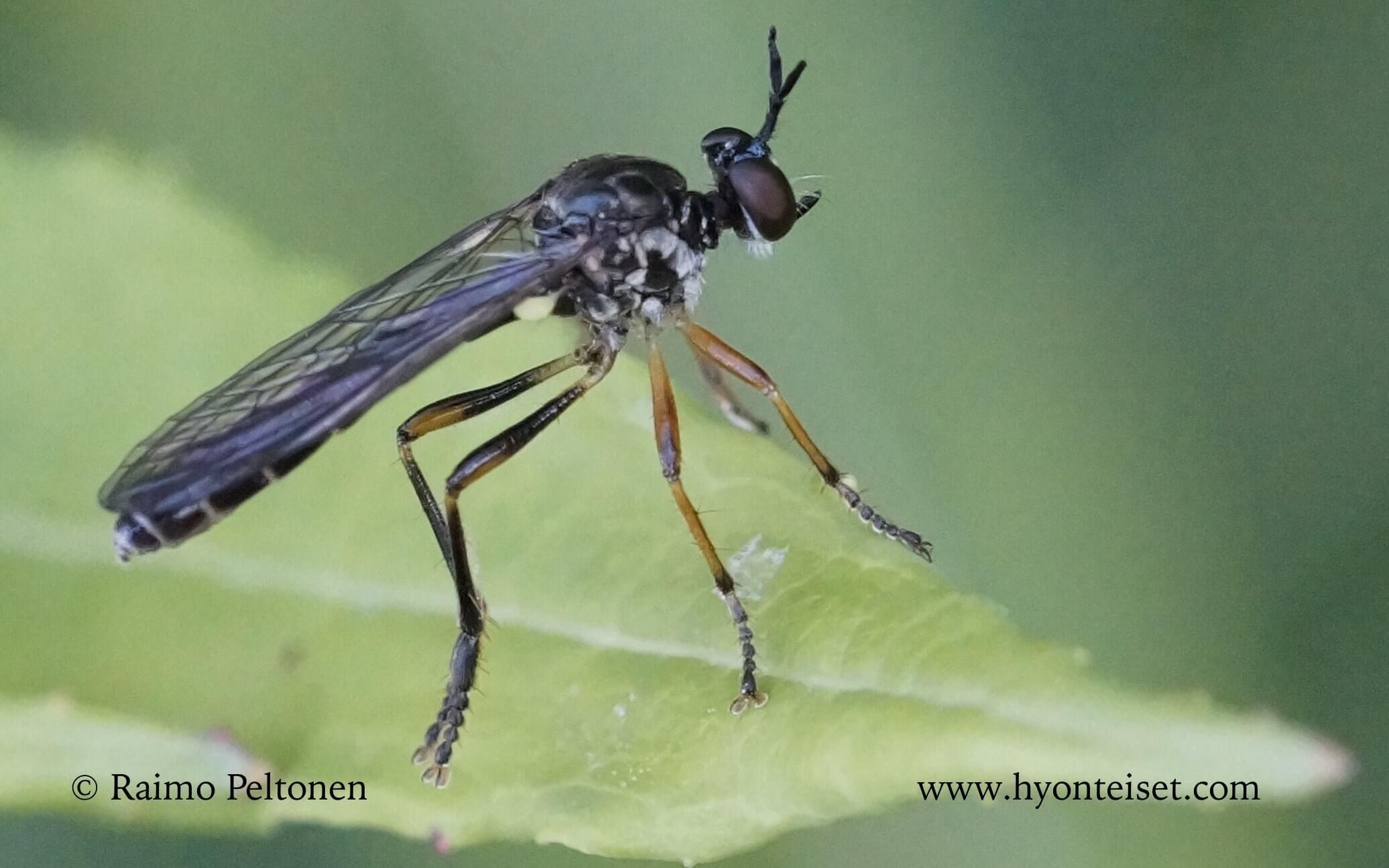 Dioctria hyalipennis (det. Kaj Winqvist)
