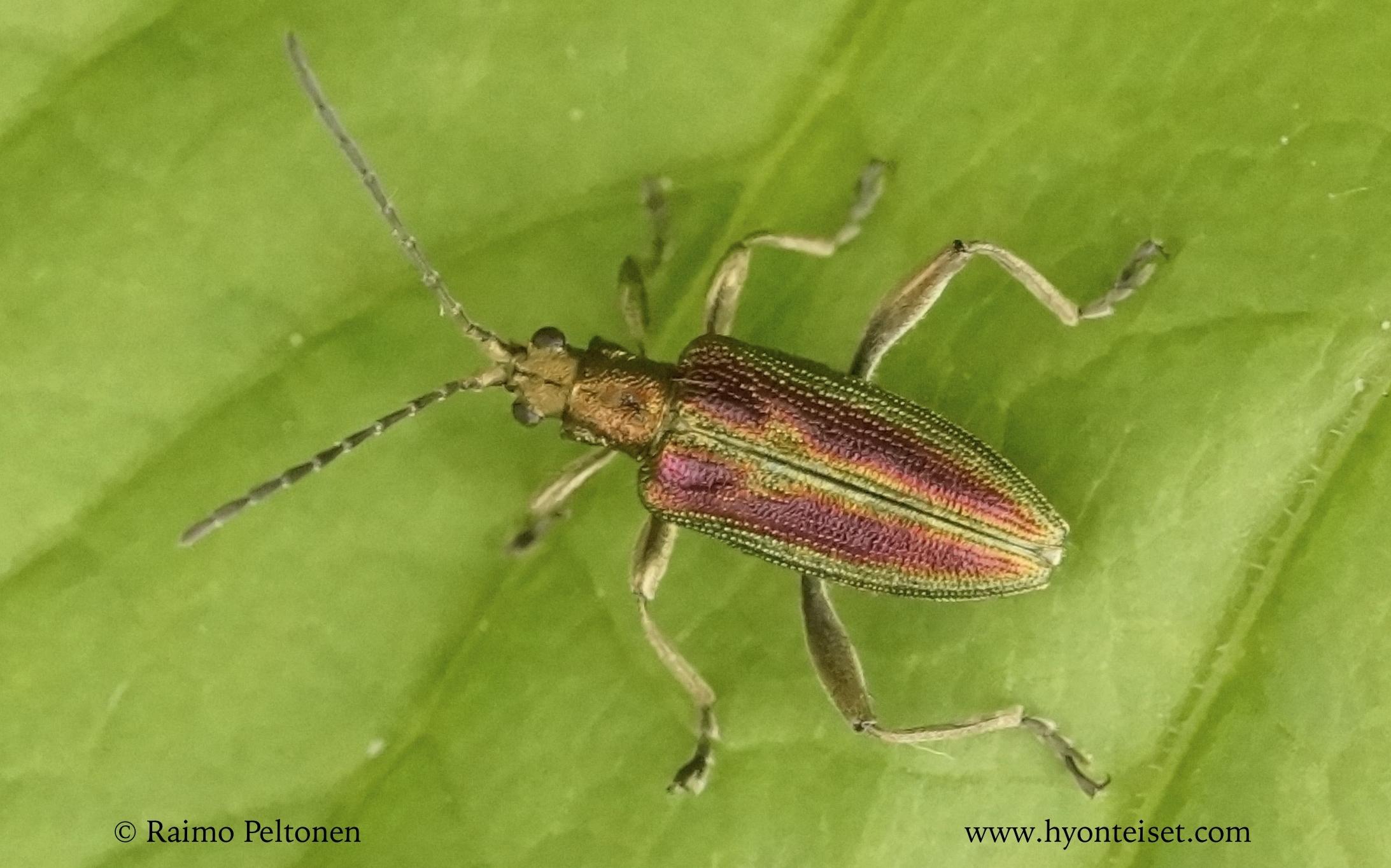 Donacia aquatica-välkekuoriainen