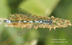 Coenagrion hastulatum 1
