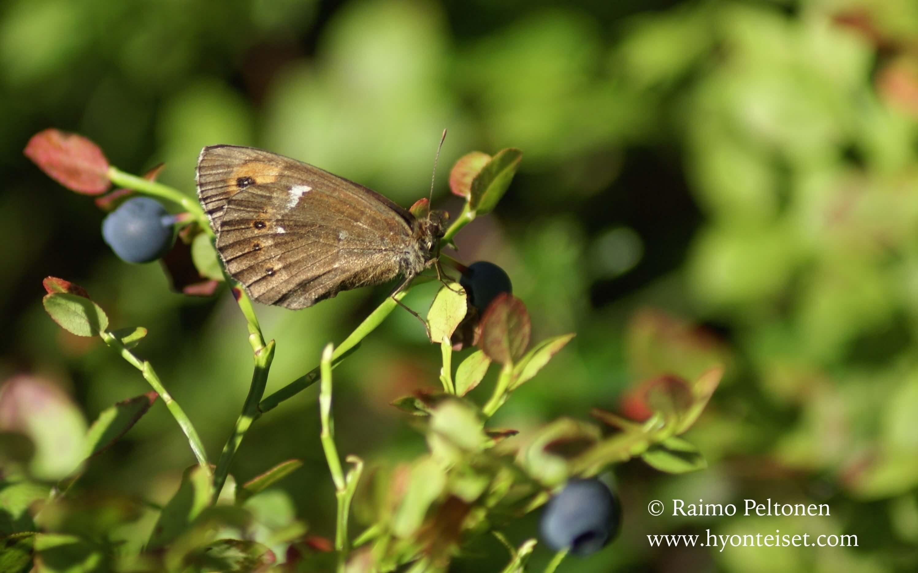 Erebia ligea-metsänokiperhonen