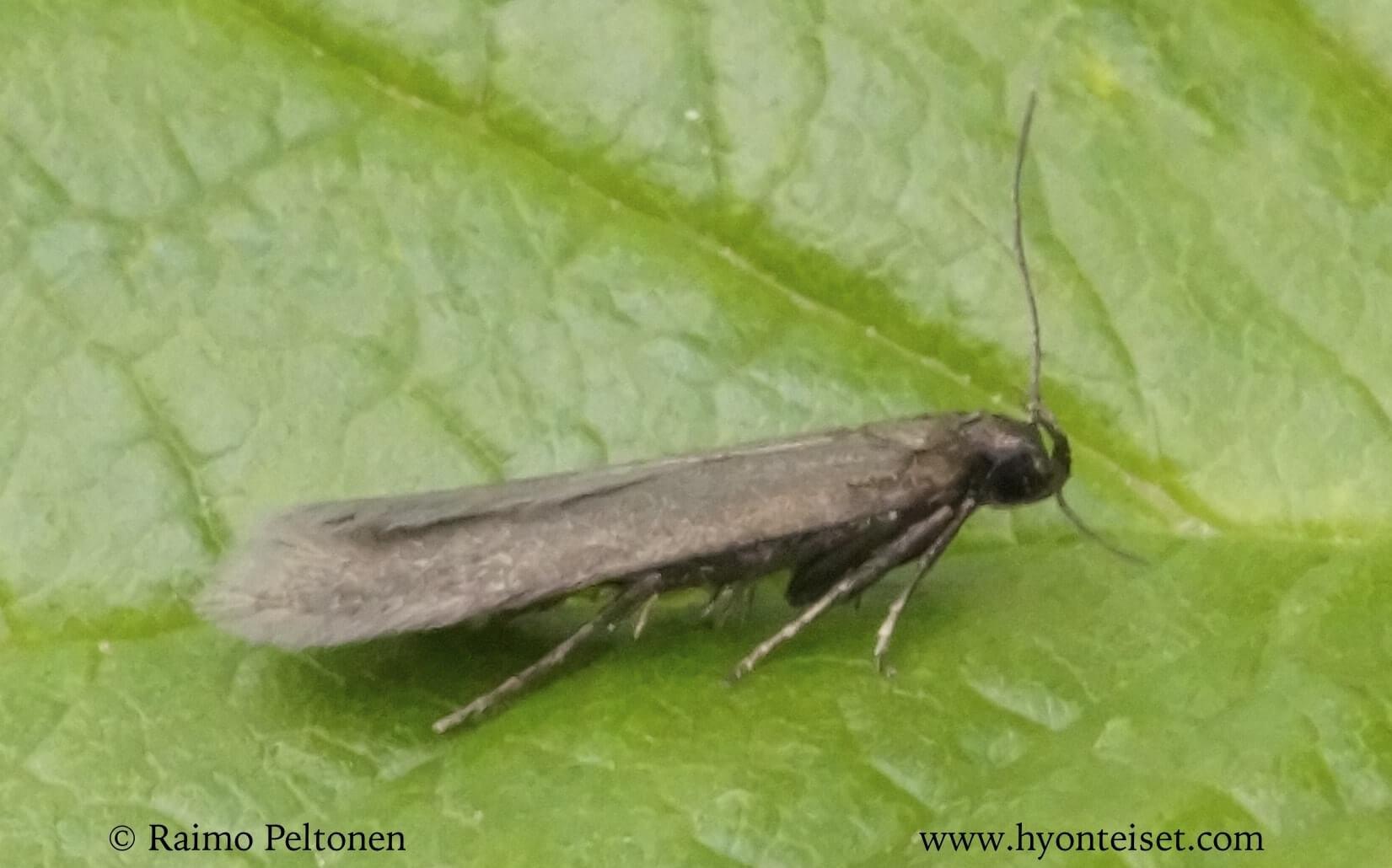 Eulamprotes unicolorella (det. Miika Jylkkä)