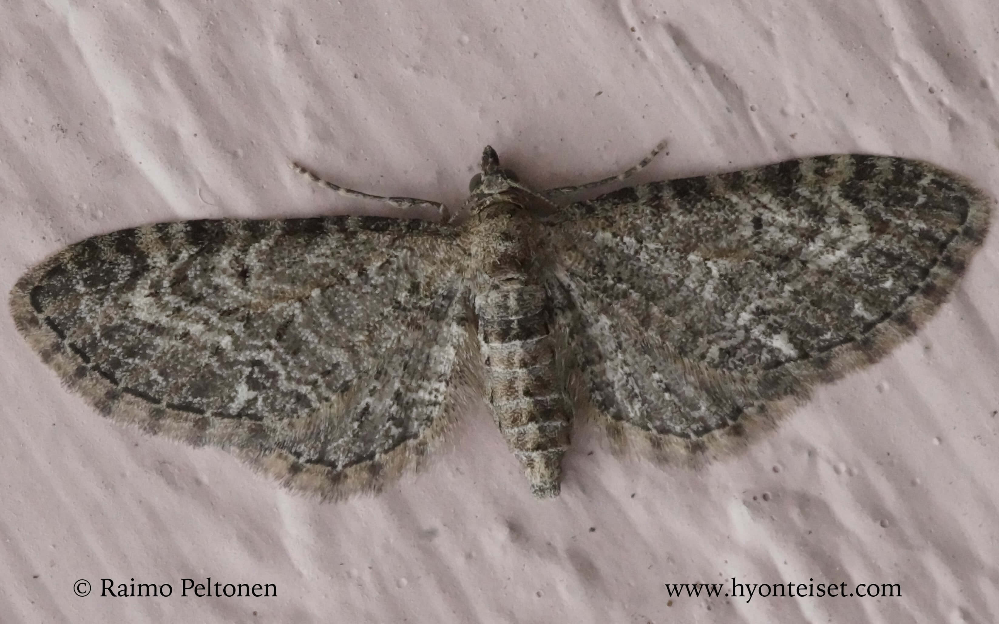 Eupithecia vulgata-kulmapikkumittari