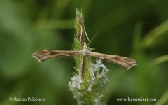 Gillmeria pallidactyla 1
