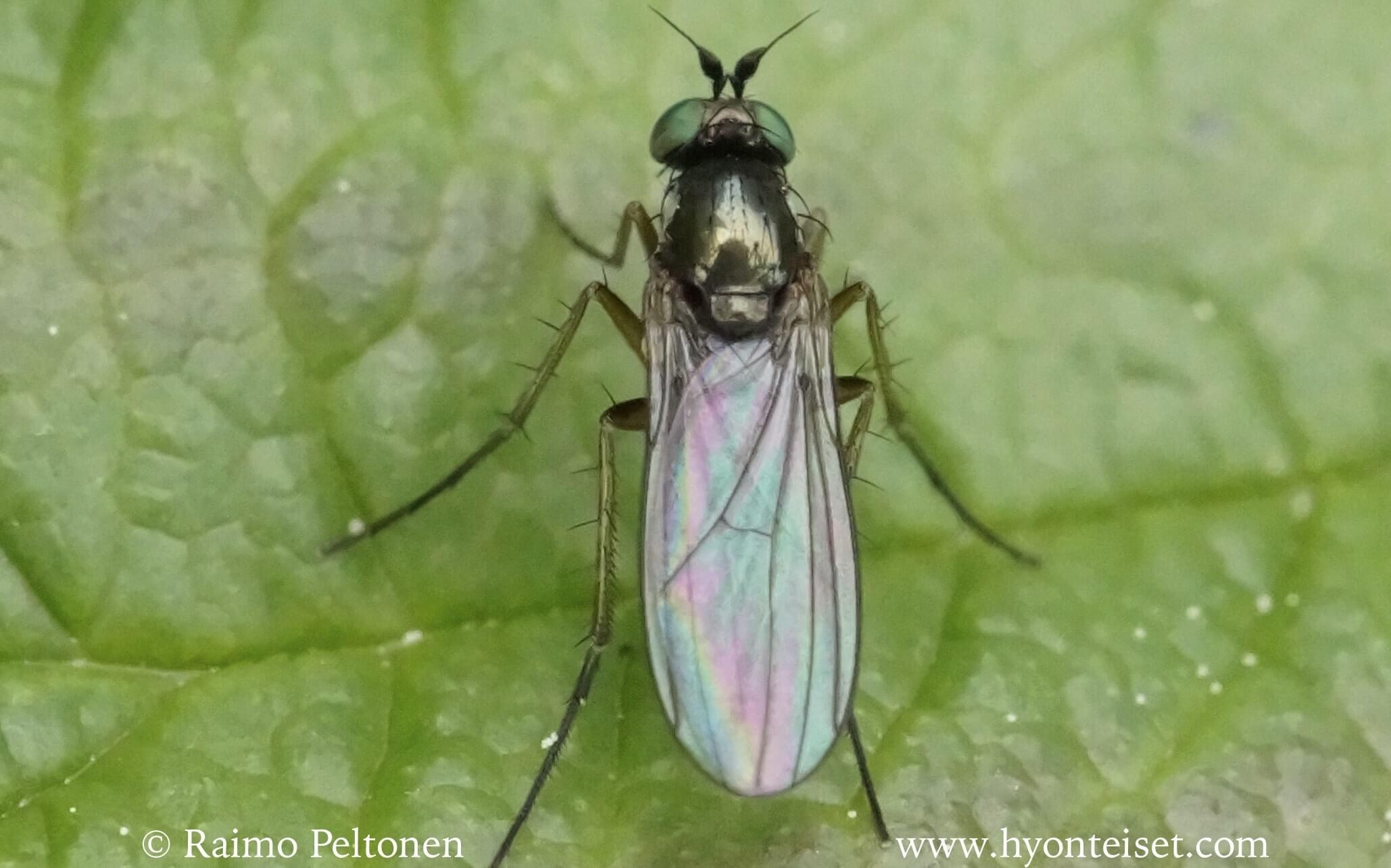 Gymnopternus aerosus (det. John Carr)