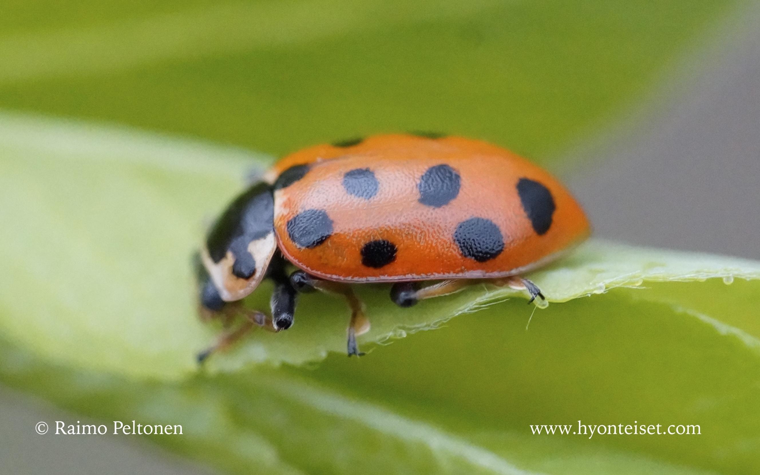 Hippodamia tredecimpunctata-halmepirkko