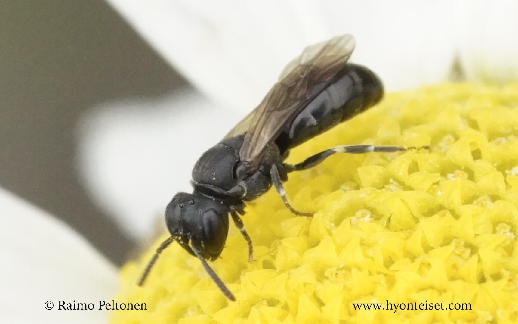 Hylaeus brevicornis, naaras (det. Juho Paukkunen)