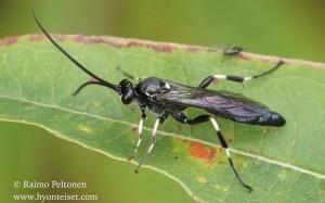 Ichneumoninae, tribus Ichneumonini 1