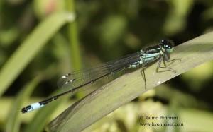 Ischnura elegans 2