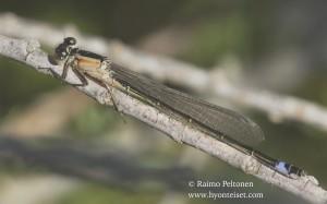 Ischnura elegans 3