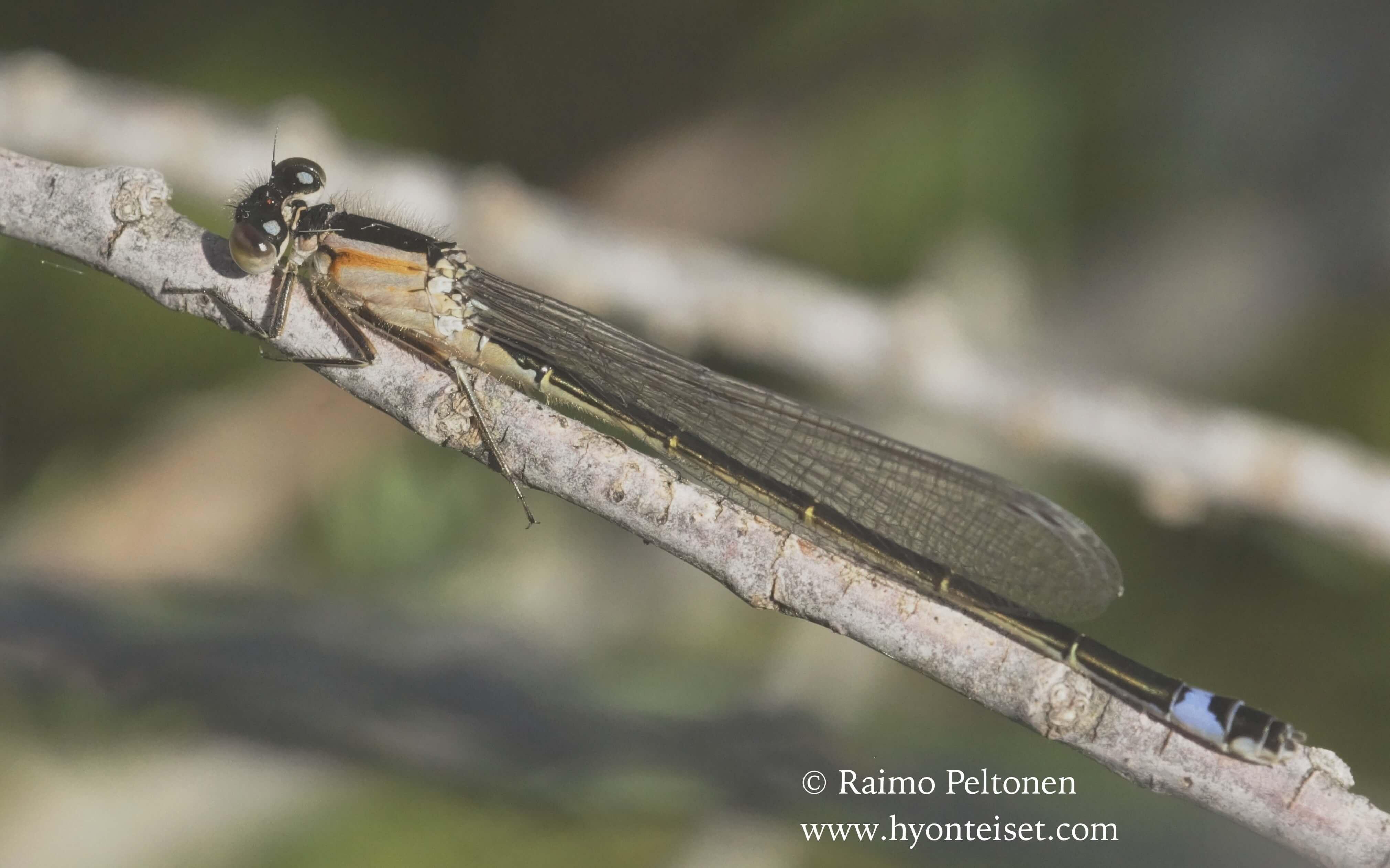 Ischnura elegans-hoikkatytönkorento, naaras