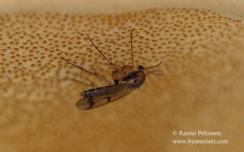 Keroplatidae sp.