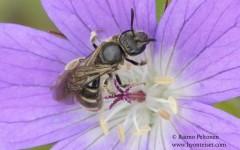 Lasioglossum albipes/fratellum