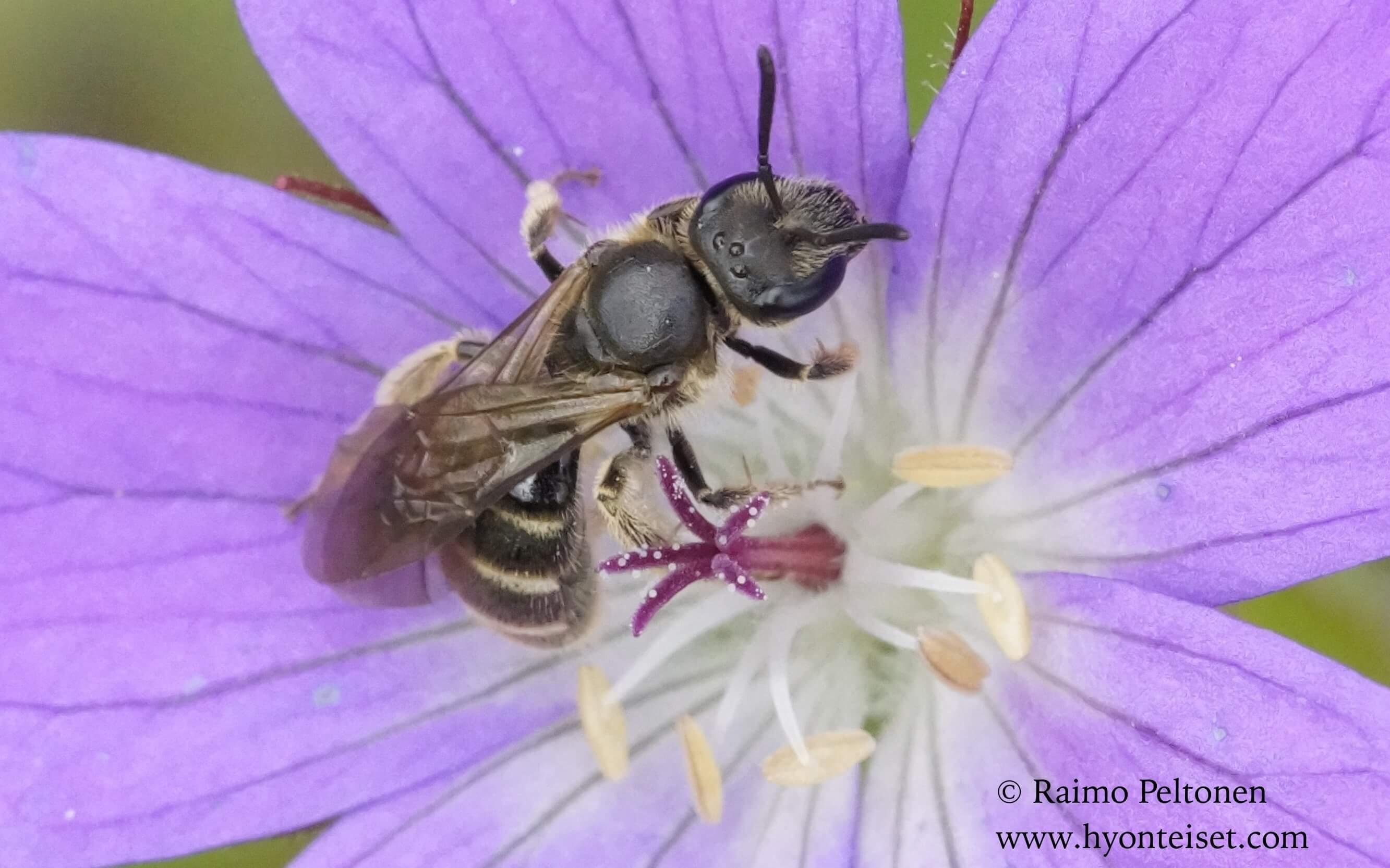 Lasioglossum albipes/fratellum (det. Juho Paukkunen)