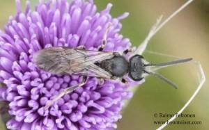 Lasioglossum albipes 1