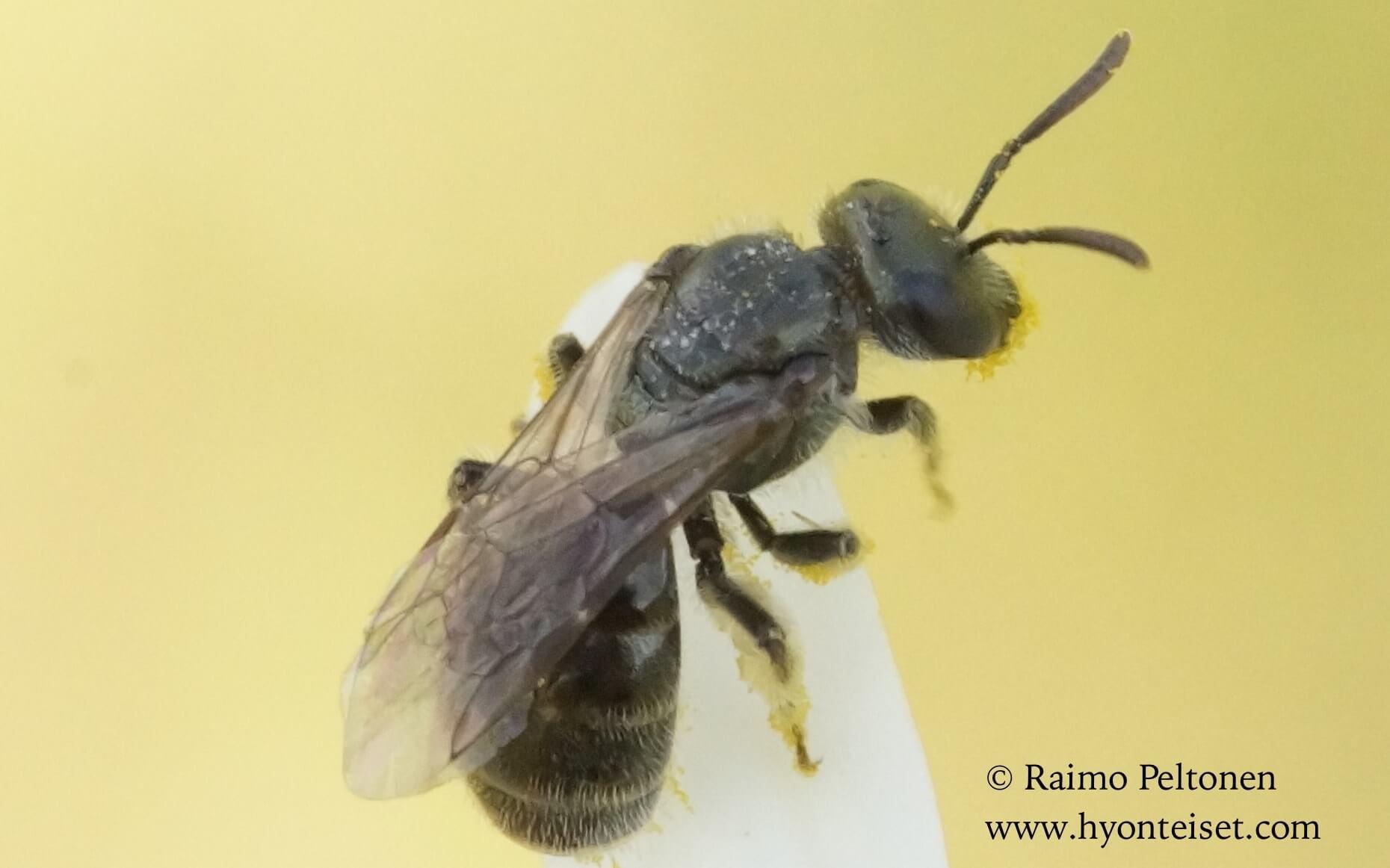 Lasioglossum leucopus-hietavihermehiläinen (det. Juho Paukkunen)