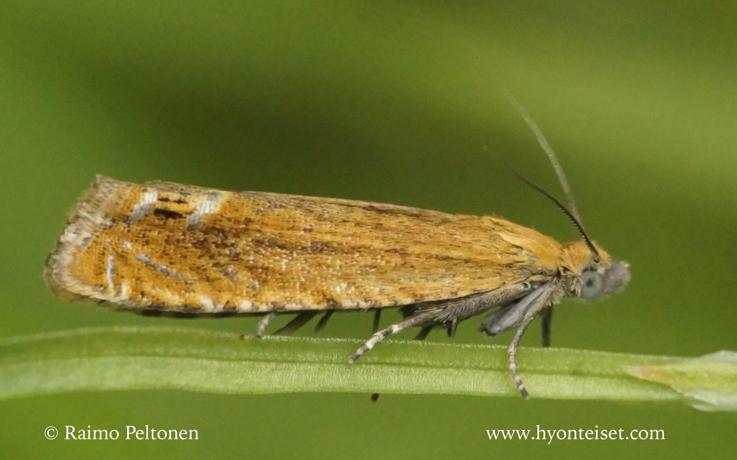 Lathonympha strigana-kuismakiiltokääriäinen (det. Harri Jalava)