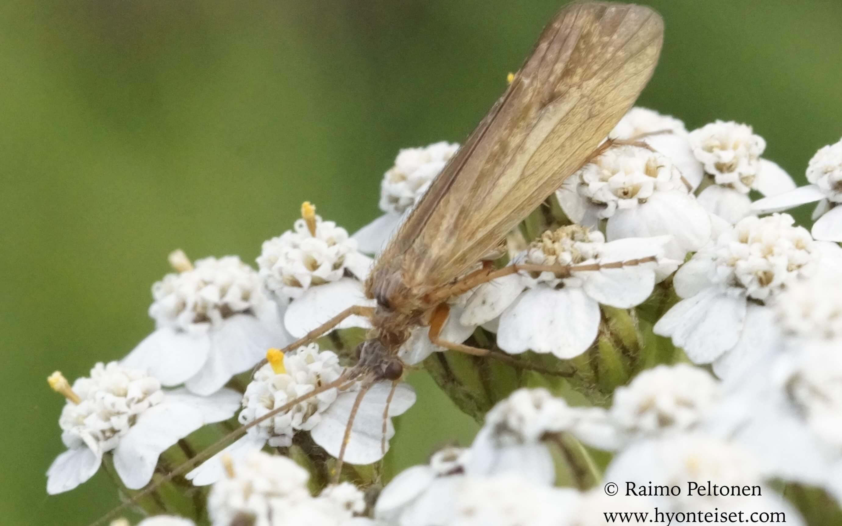 Limnephilus nigriceps (det. Juha Salokannel)