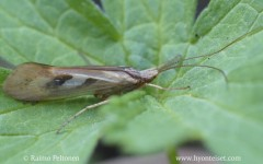 Limnephilus rhombicus
