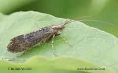 Limnephilus sparsus 1