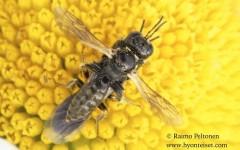 Lindenius albilabris 3