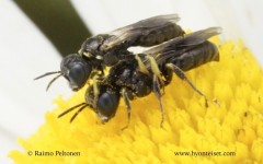 Lindenius albilabris 4