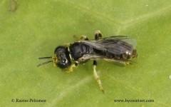Lindenius albilabris 1
