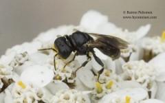 Lindenius albilabris 2