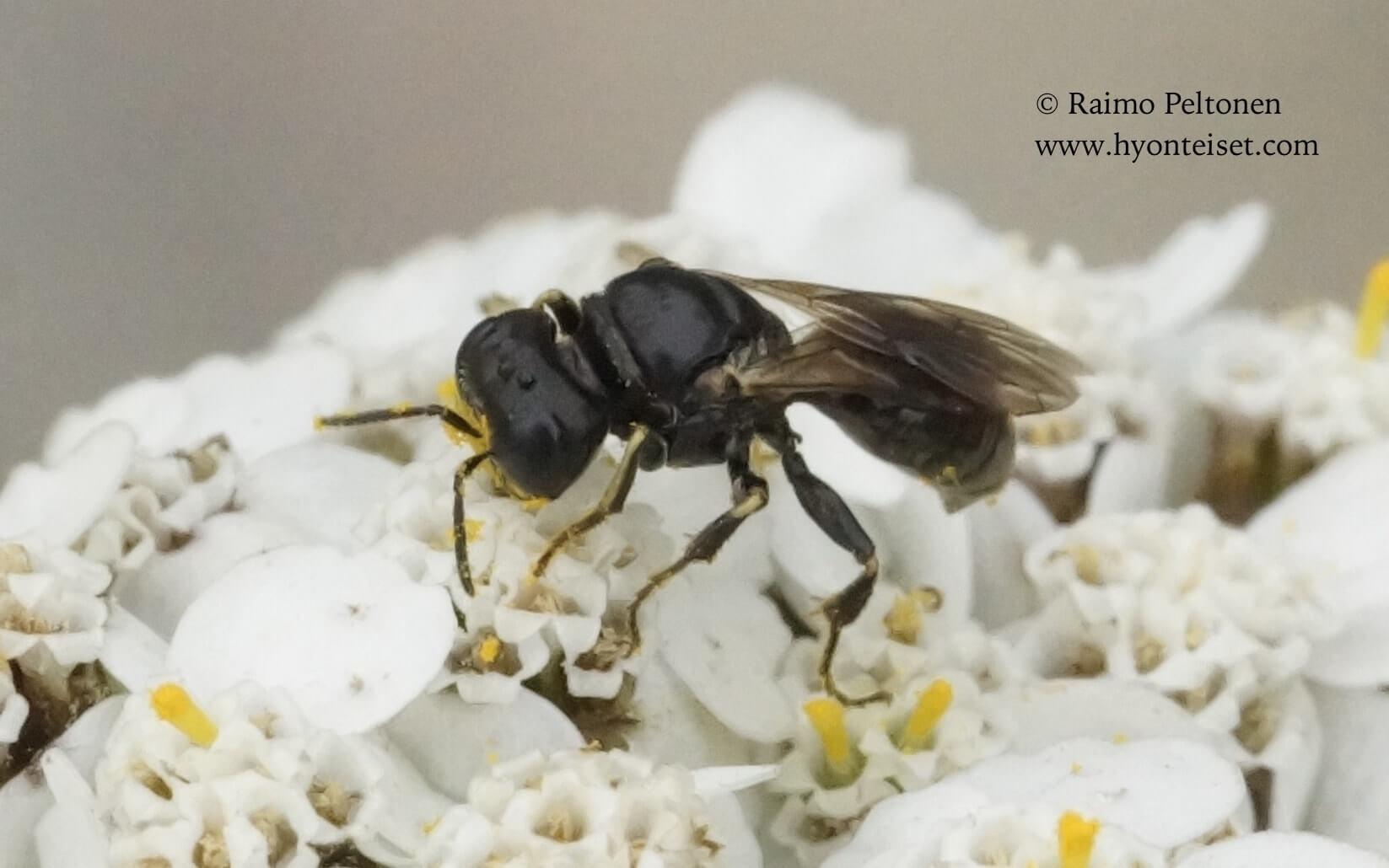 Lindenius albilabris-sysihukka, naaras (det. Juho Paukkunen)