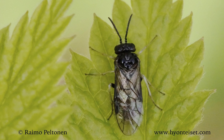Monophadnus cf. pallescens (det. Veli Vikberg)