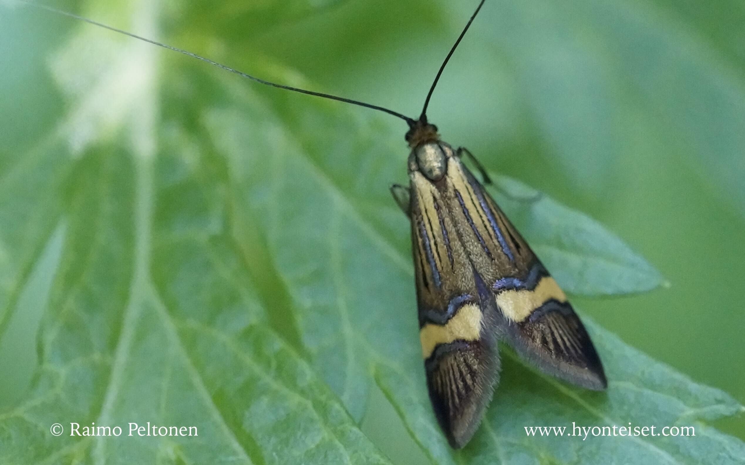Nemophora degreella-lännensurviaiskoi