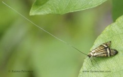 Nemophora degreelle 1