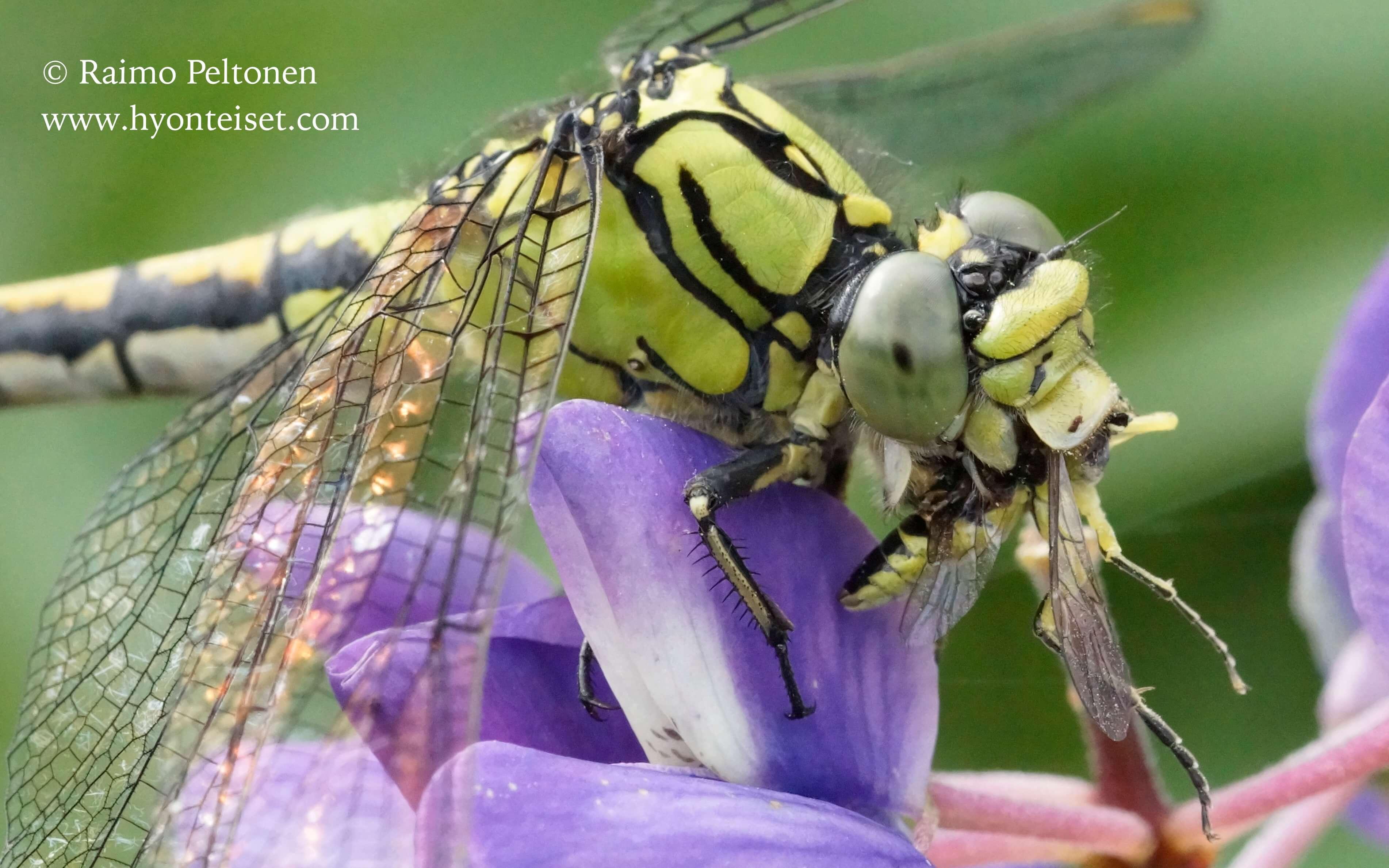 Ophiogomphus cecilia-kirjojokikorento