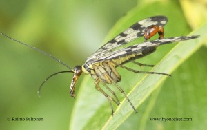 Panorpa vulgaris 2