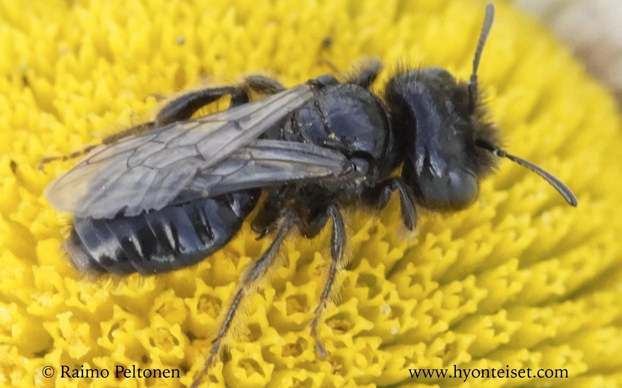 Panurgus calcaratus-pikkupiehtarimehiläinen, koiras (det. Juho Paukkunen)